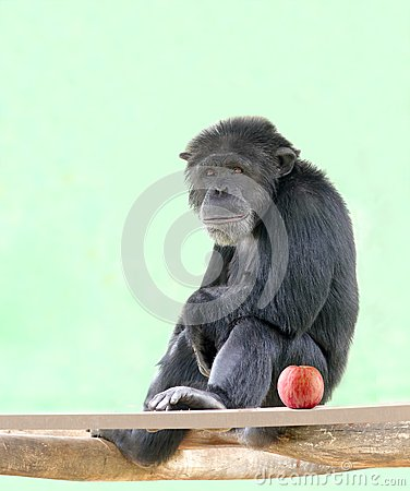 Free Smart Chimpanzee(chimp) Sitting In Relaxed Mood Stock Images - 26463944