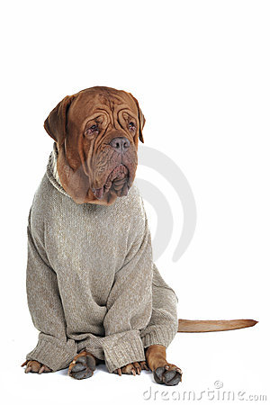 Smart Dog in a Sweater