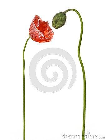 Smelling Poppy Flower