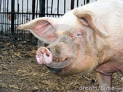 Smile piggy