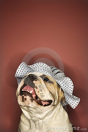 Smiling bulldog wearing a hat.