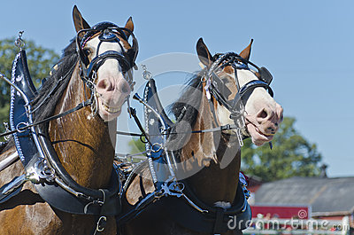 Smiling Clydesdale Draft Horses at Country Fair