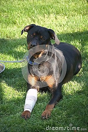 Smiling Dog with Bandaged Leg