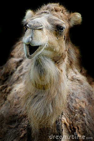 Free Smiling Dromedary Royalty Free Stock Photography - 2494137