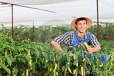 A smiling gardener picking peppers in a garden