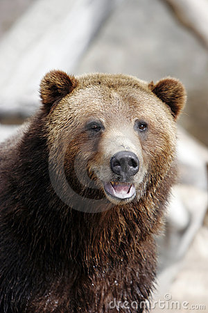 Smiling Grizzly Bear (captive setting)