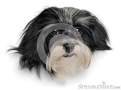 Smiling havanese puppy dog head