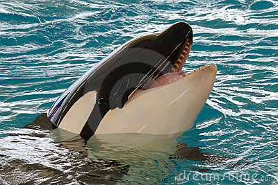Smiling killerwhale