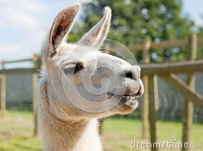 A smiling lama