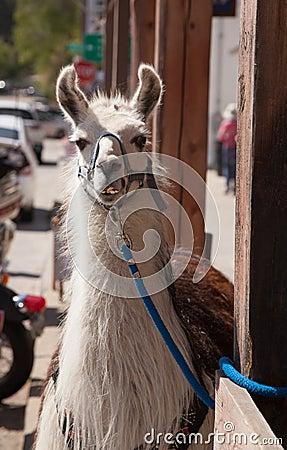 The smiling llama