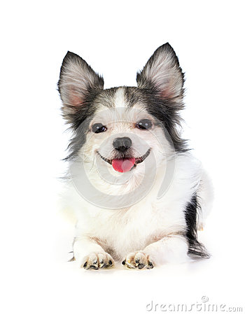 Smiling long coated chihuahua