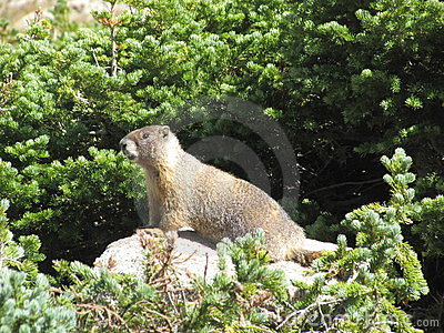 Smiling Marmot