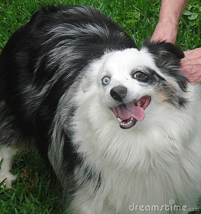 Smiling Mini Australian Shepherd