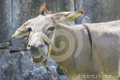 Smiling mule