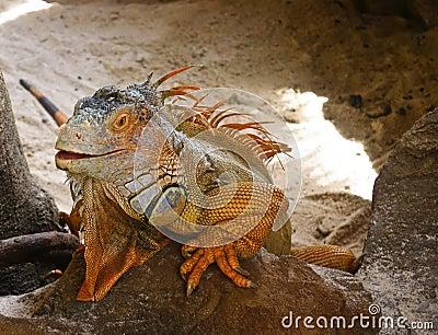 Smiling orange iguana