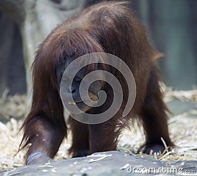 Free Smiling Orangutan Stock Image - 48374491