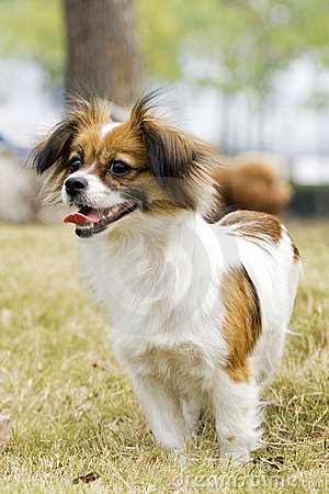 smiling Papillon dog