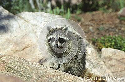 Smiling Raccoon