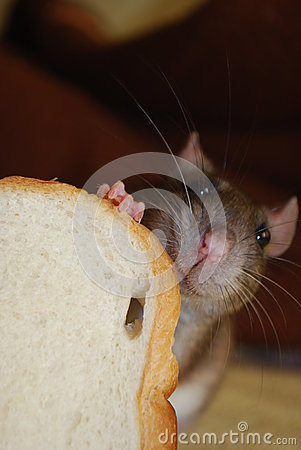 Free Smiling Rat With Bread Royalty Free Stock Photos - 35825448