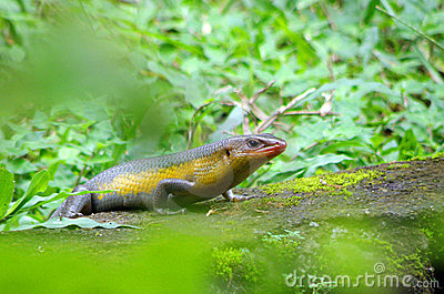 Smiling skink among green plants