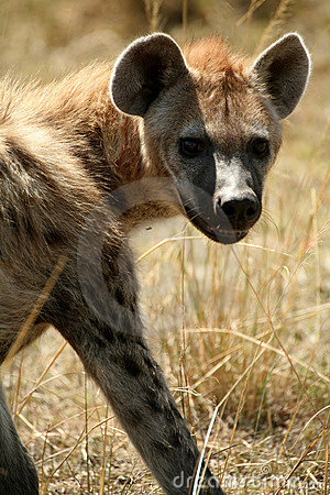 Free Smiling Spotted Hyena Stock Photos - 4295243