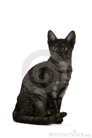 Free Smoke Egyptian Mau Royalty Free Stock Image - 8468576