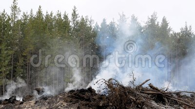 Smoke rises from a smoldering fire from the burning of slashings from a forest logging operation in Minnesota, on a cloudy day. With jack pine trees in the stock video