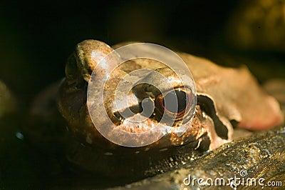 Smokey Jungle Frog - Leptodactylus pentadactylus