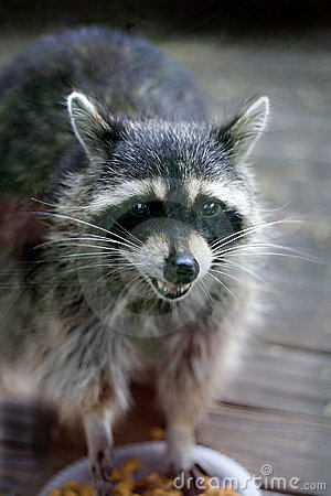 Smokey Raccoon