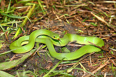 Smooth Green Snake (Opheodrys vernalis)