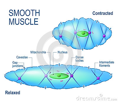 Smooth muscle cell. Vector Illustration