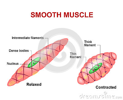 Smooth muscle tissue Vector Illustration