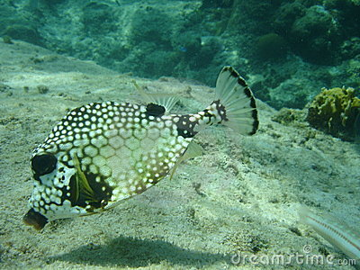 Smooth Trunkfish, Caribbbean