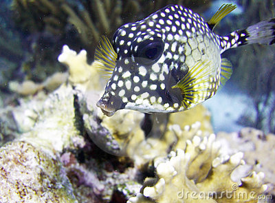 Smooth Trunkfish  , lactrophrys bicaudalis