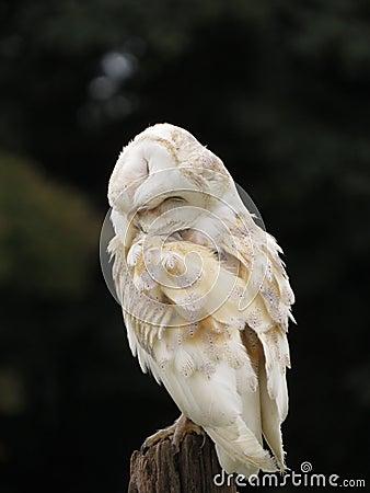 Smug Barn Owl Stock Photo - Image: 49477940