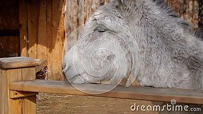 Smutny osioł w drewnianym klauzura stojaku i spojrzenia zbliżeniu zdjęcie wideo