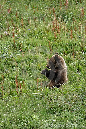 Snacking Grizzly Cub