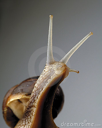 Free Snail Royalty Free Stock Images - 352059