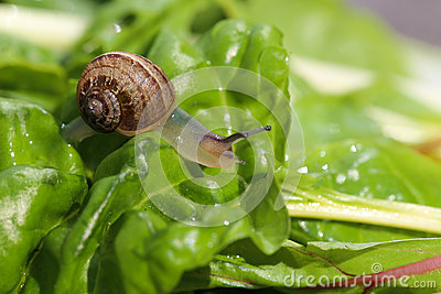 Snail on Chard