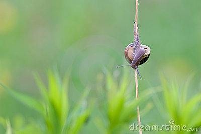 Snail climbing down into the grasses
