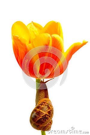 Snail Climbing Tulip