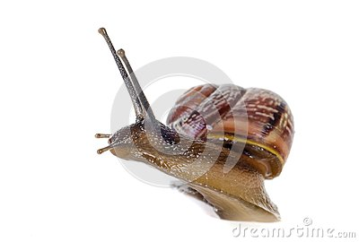 Snail close-up, macro.