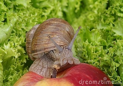 Snail crawling on apple
