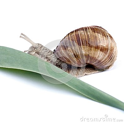 Snail crawls on a green leaf