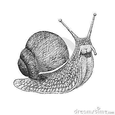 Free Snail Engraving Illustration Royalty Free Stock Photos - 62309208
