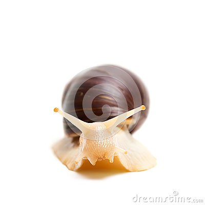 Free Snail, Front View Royalty Free Stock Photos - 36009848