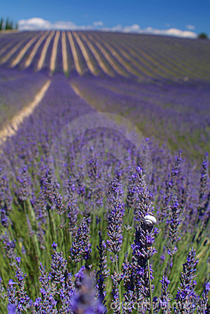 Free Snail In A Lavender Field Royalty Free Stock Photography - 2871007