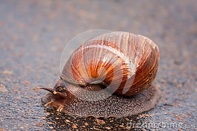 Snail moving on wet surface