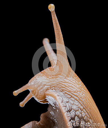 Free Snail On Black Background Macro Stock Photography - 30601422