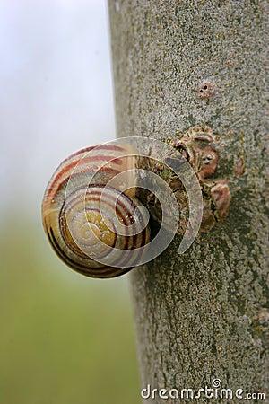 Free Snail On Tree Bark Close Up Royalty Free Stock Photos - 715288
